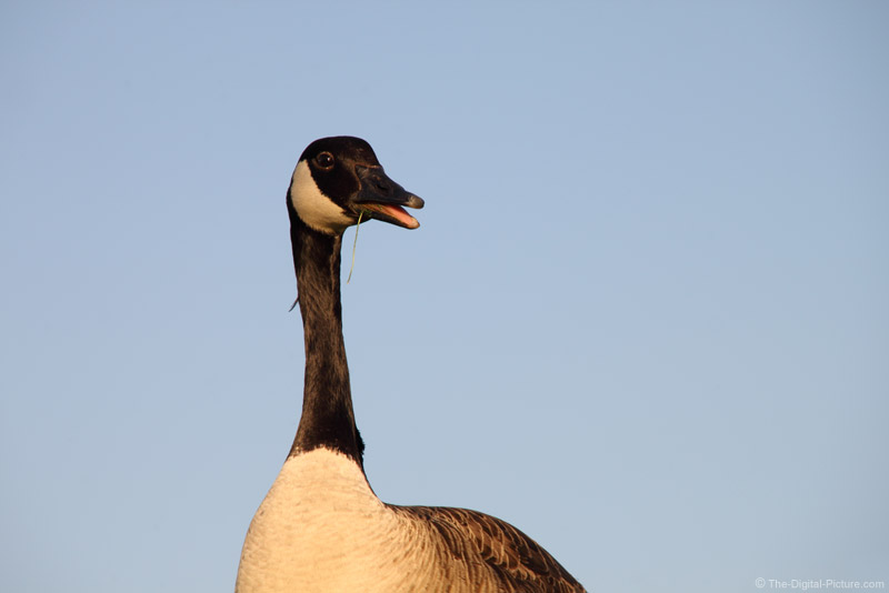 Goose Talking While Eating