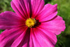 Bee on Pink Cosmo Flower