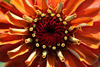 Orange Zinnia Closeup