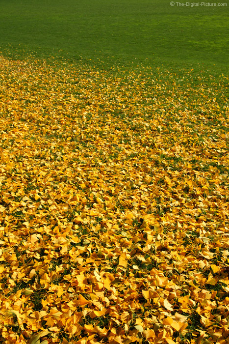 Yellow Leaves Staining Green Grass