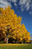 Yellow Trees on Campus