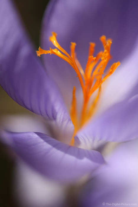 Fall Crocus Picture