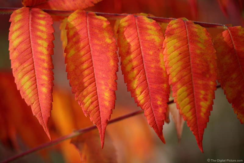 Sumac Tree Leaves in Fall Color