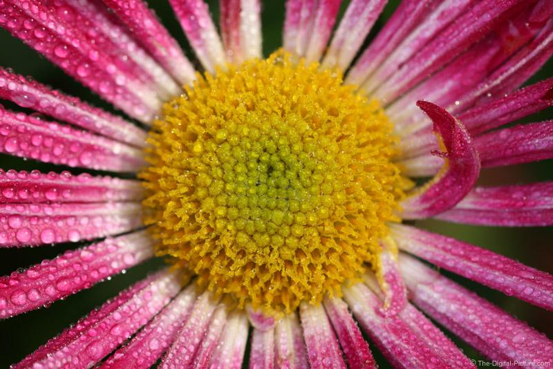 Water Droplets on Chrysanthemum