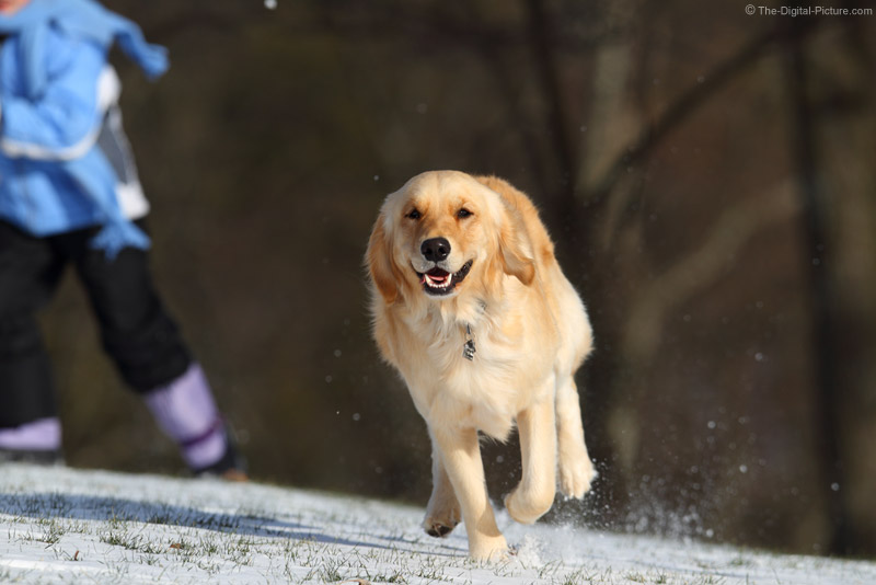 Running Golden Retriever Picture