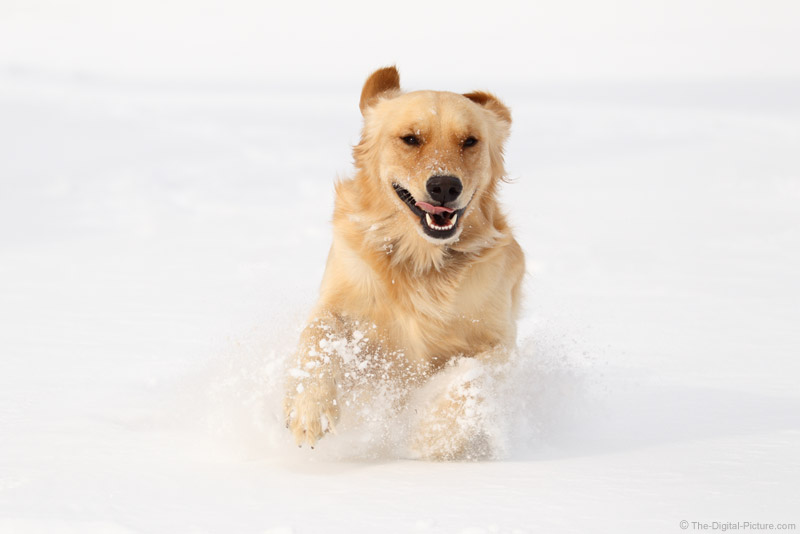 Golden Retriever Running in Snow