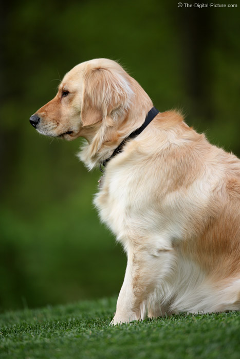 Golden Retriever Looking Intently