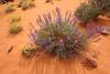 Desert Wildflowers, Canyonlands National Park