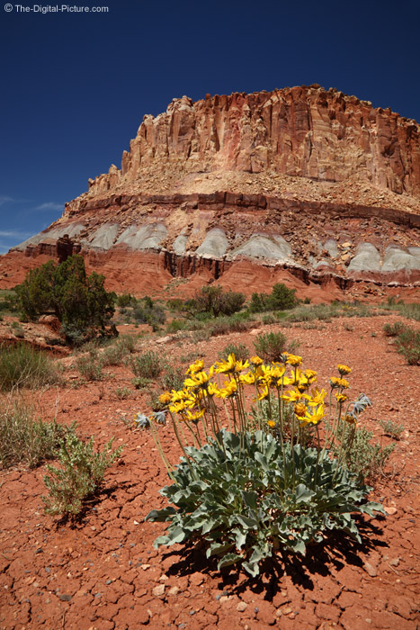Wildflowers in Capitol Reef National Park