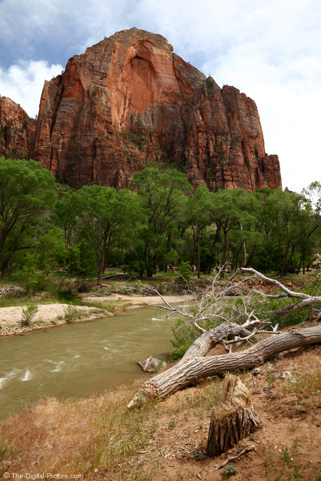 Beaver-Felled Tree in Zion National Park