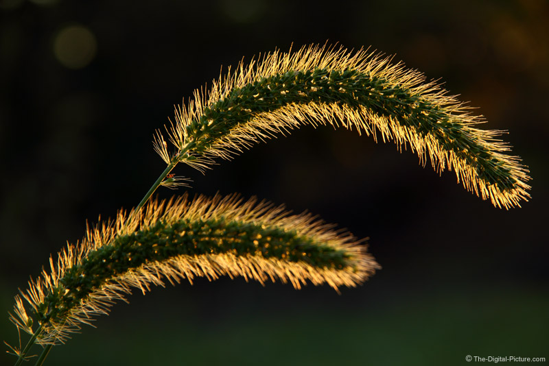 Backlit Wild Grasses