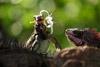 Iguana Eating Flower