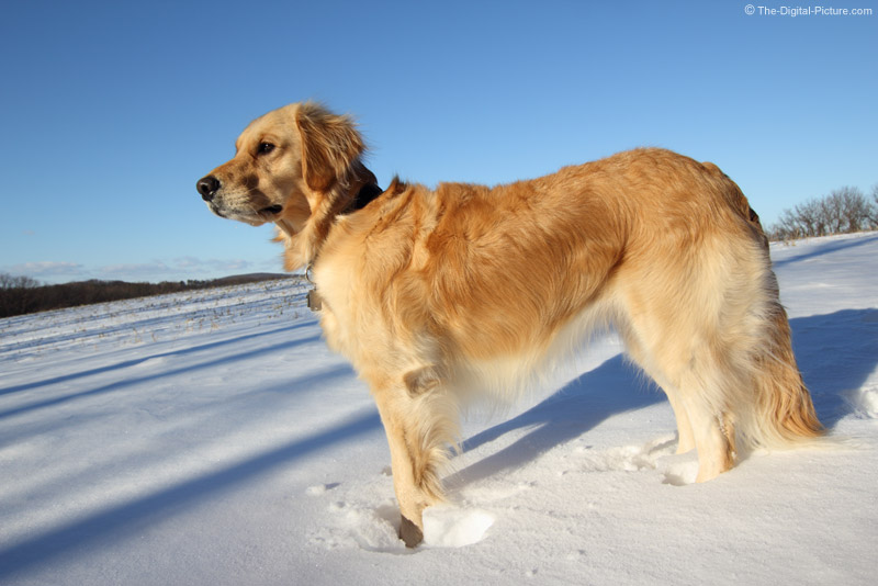 Alert Golden Retriever in Snow