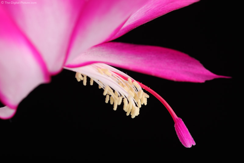 Christmas Cactus Flower 1.4x