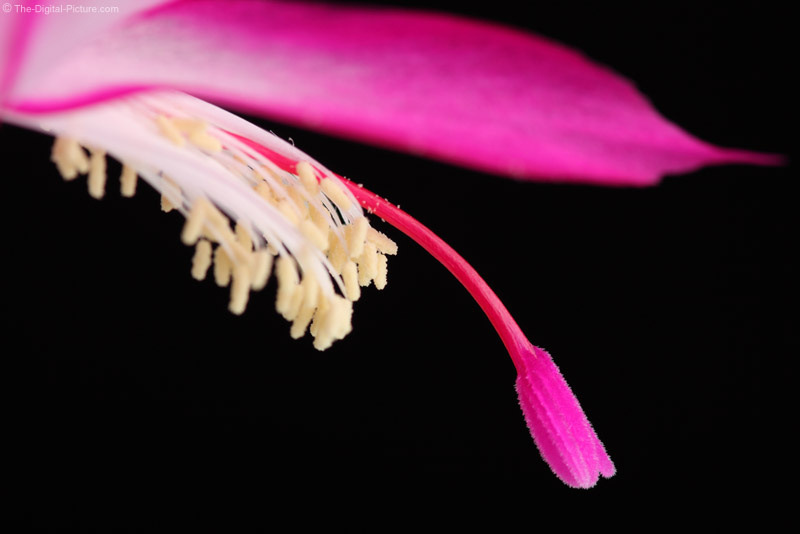 Christmas Cactus Flower 2x