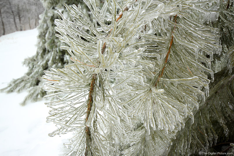 Ice-covered White Pine Tree