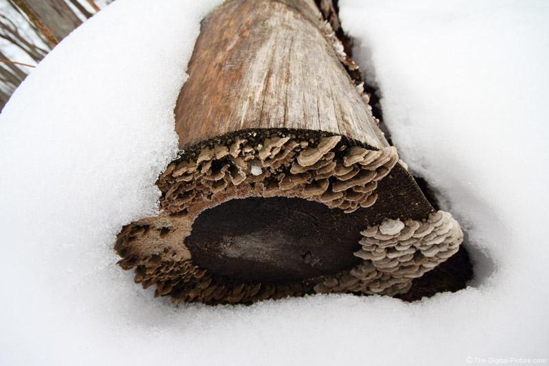 Mushroom-Laden Log in Snow