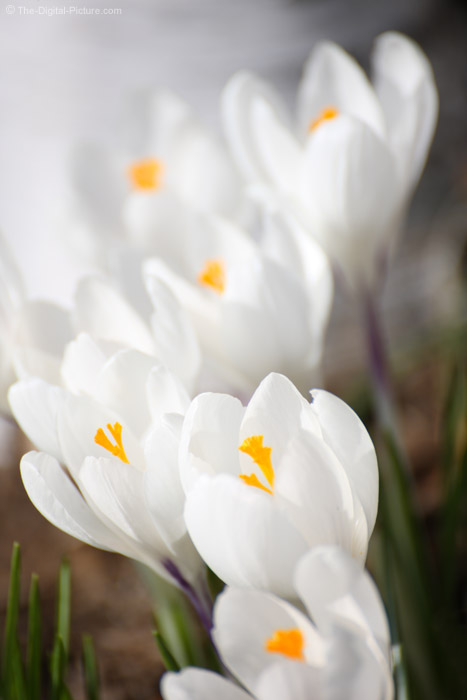 Clump of White Crocuses