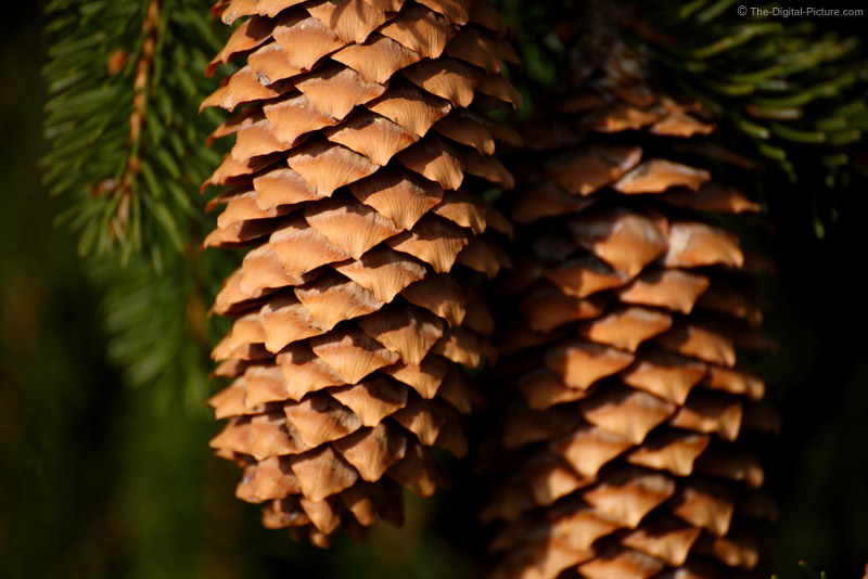 Weeping Norway Spruce Pine Cones