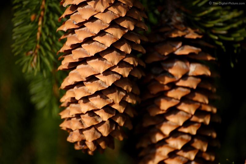 Weeping Norway Spruce Pine Cones