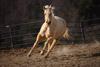 Frisking Palomino Quarterhorse