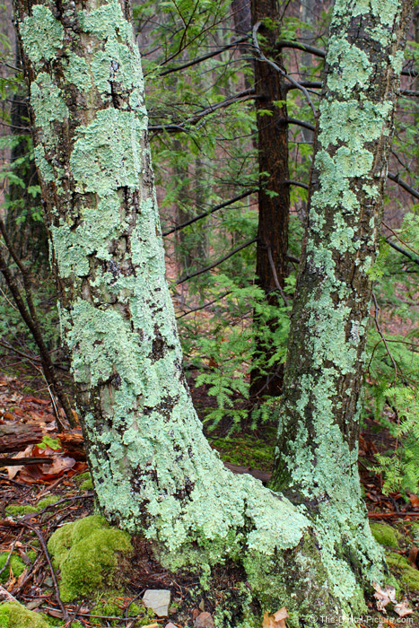 Lichens-Covered Oak Trees