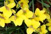 A Dozen Wet Daffodils Picture