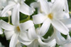 Pure White Hyacinth