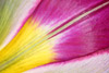 Partially Opened Botanical Tulip