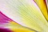 Botanical Tulip Close-up