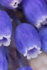 Grape Hyacinth Close-up
