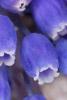 Grape Hyacinth Close-up