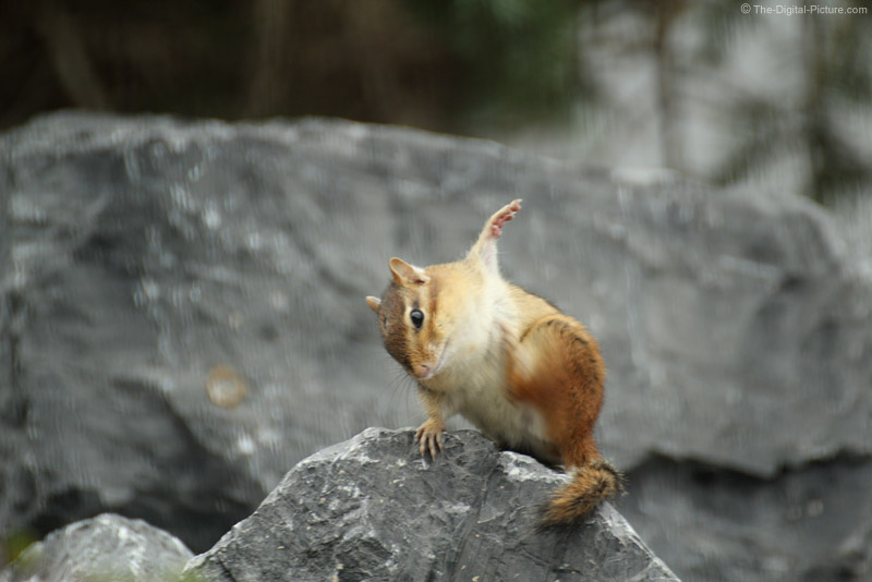 Chipmunk with an Itch