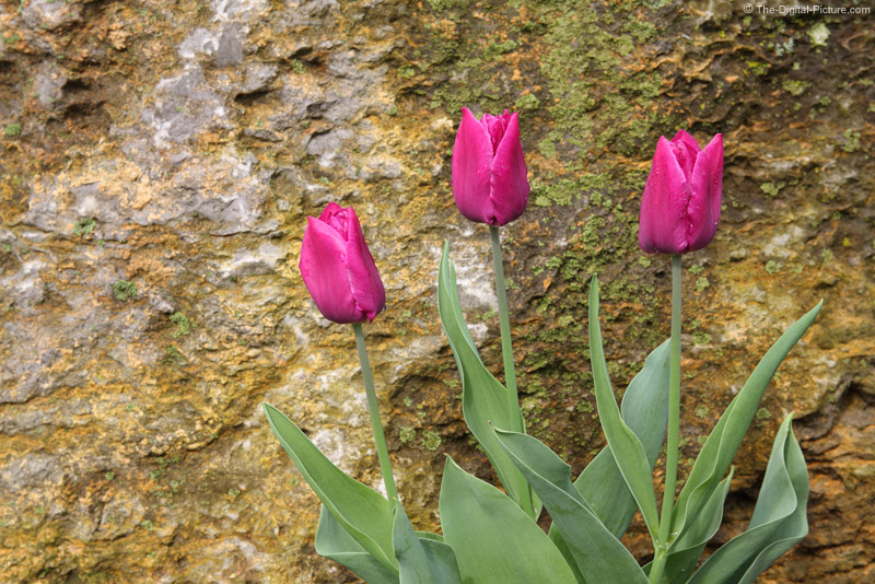 Tulips in Front of a Rock