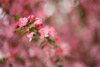 Flowering Crab Apple Tree Picture