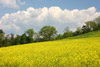 Field of Wild Mustard