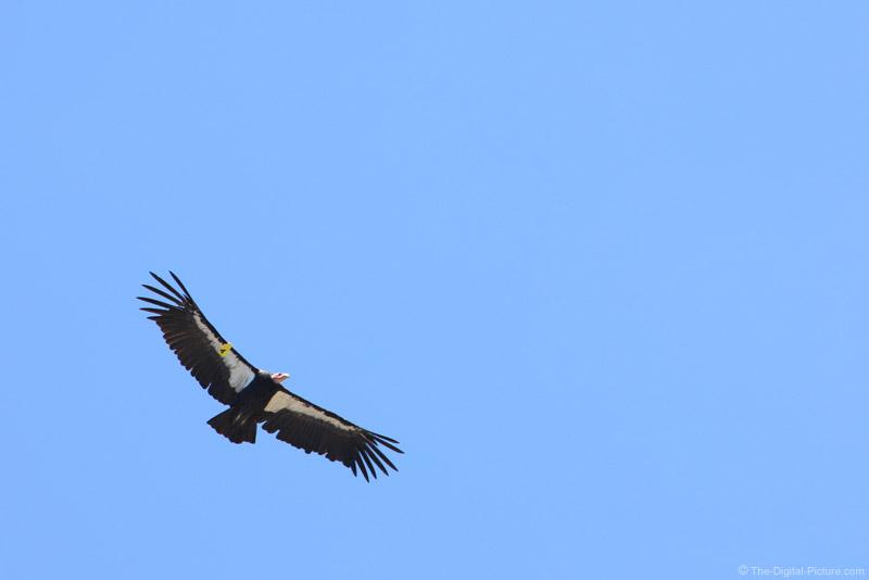 California Condor Number 4, Big Sur