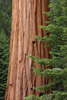 Giant Seqouia Tree, Sequoia National Park