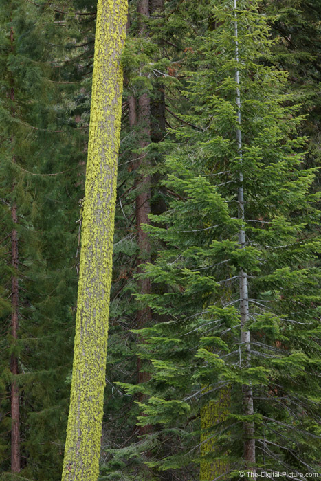 Moss-Covered Tree, Sequoia National Park