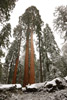 Entire Giant Sequoia Trees