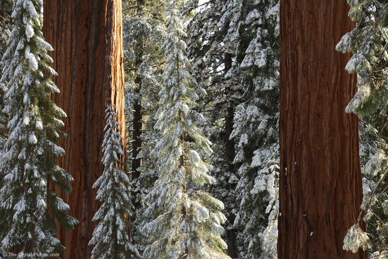 Sun on the Giant Sequoia