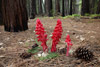 Snow Plant, Yosemite National Park