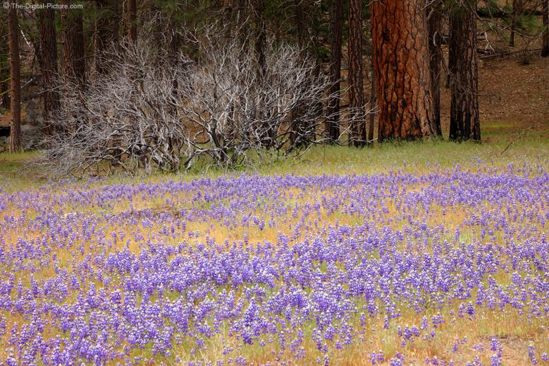 Lupines, Yosemite National Park
