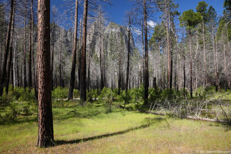 Forest Fire Regeneration, Yosemite National Park
