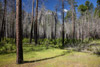 Forest Fire Regeneration, Yosemite National Park