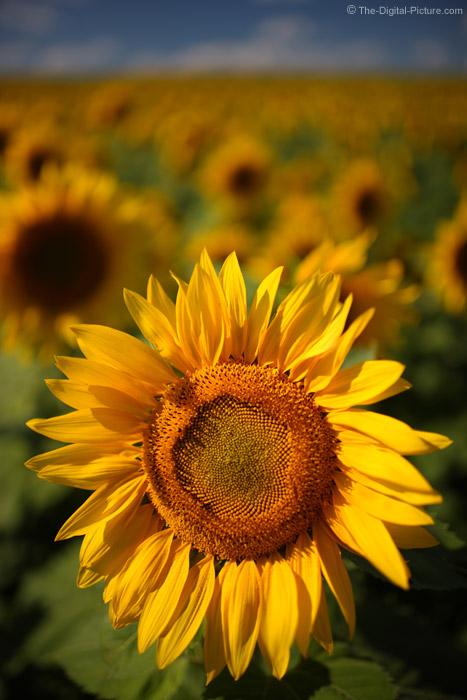Not All Sunflowers Follow the Sun