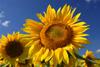 Honey Bee Working on Sunflower