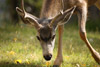 Waterton Lakes Mule Deer Buck