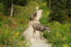 Mule Deer on the Trail, Glacier National Park
