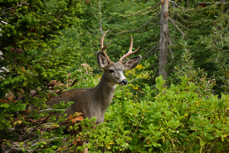Mule Deer Buck Looking for Danger